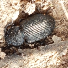 Adelium porcatum (Darkling Beetle) at Holt, ACT - 2 Mar 2021 by tpreston