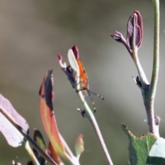 Amorbus sp. (genus) (Tip bug) at Wodonga - 2 Mar 2021 by Kyliegw