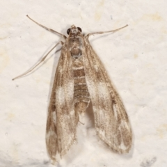 Hygraula nitens (Australian Pond Moth) at Melba, ACT - 21 Feb 2021 by kasiaaus