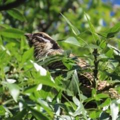 Eudynamys orientalis (Eastern Koel) at Griffith, ACT - 1 Mar 2021 by roymcd