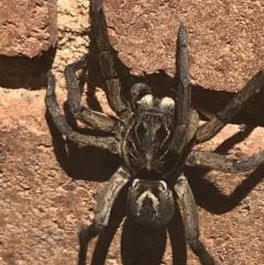 Tasmanicosa sp. (genus) (Unidentified Tasmanicosa wolf spider) at Lyneham, ACT - 2 Mar 2021 by Tapirlord