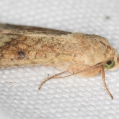 Heliothinae (subfamily) (Budworm) at Melba, ACT - 18 Feb 2021 by Bron