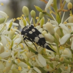 Hoshihananomia leucosticta (Pintail or Tumbling flower beetle) at Conder, ACT - 2 Jan 2021 by michaelb