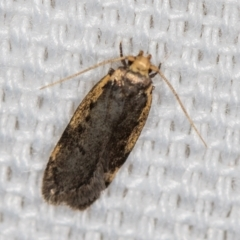 Hoplostega ochroma (A concealer moth) at Melba, ACT - 18 Feb 2021 by Bron