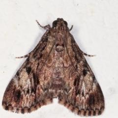 Salma cinerascens (A Pyralid moth) at Melba, ACT - 21 Feb 2021 by kasiaaus
