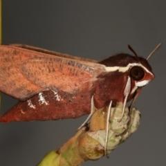 Hippotion scrofa (Coprosma Hawk Moth) at Melba, ACT - 21 Feb 2021 by kasiaaus