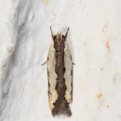 Ardozyga mesochra and similar species at Melba, ACT - 21 Feb 2021 by kasiaaus