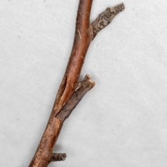 Fisera eribola (Orange-hooded Crest-moth) at Melba, ACT - 18 Feb 2021 by Bron
