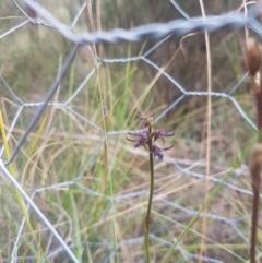Corunastylis ostrina at Mongarlowe, NSW - 23 Feb 2021 by MelitaMilner