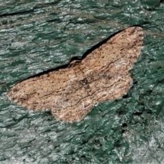 Ectropis excursaria (Common Bark Moth) at Wanniassa, ACT - 3 Mar 2021 by JohnBundock