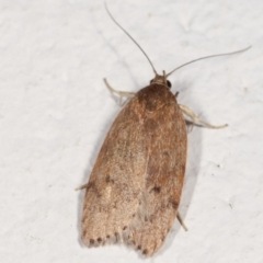 Heliocausta undescribed species (A concealer moth) at Melba, ACT - 21 Feb 2021 by kasiaaus