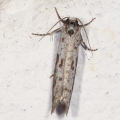 Lepidoscia (genus) (Unidentified cone case moth) at Melba, ACT - 22 Feb 2021 by kasiaaus