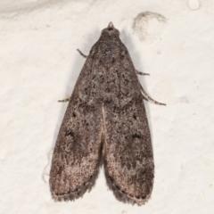 Heteromicta pachytera (Pyralid moth) at Melba, ACT - 22 Feb 2021 by kasiaaus