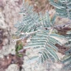 Acacia dealbata (Silver Wattle) at Goorooyarroo - 3 Mar 2021 by tpreston