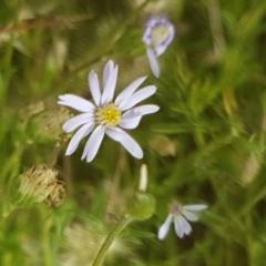 Vittadinia muelleri (Narrow-leafed New Holland Daisy) at Goorooyarroo - 3 Mar 2021 by tpreston