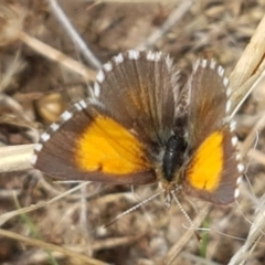 Lucia limbaria (Chequered Copper) at Forde, ACT - 3 Mar 2021 by tpreston