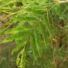 Acacia mearnsii (Black Wattle) at Goorooyarroo - 3 Mar 2021 by tpreston