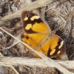 Heteronympha merope (Common Brown) at Forde, ACT - 3 Mar 2021 by tpreston