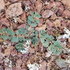 Euphorbia dallachyana (Mat Spurge, Caustic Weed) at Goorooyarroo - 3 Mar 2021 by tpreston