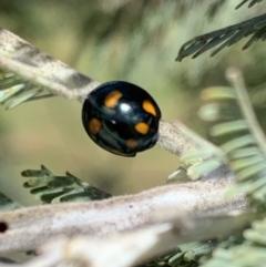 Orcus australasiae (Orange-spotted Ladybird) at Murrumbateman, NSW - 3 Mar 2021 by SimoneC