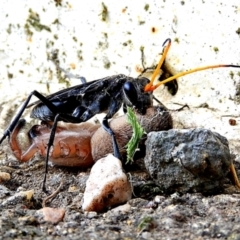 Pompilidae (family) (Unidentified Spider wasp) at Crooked Corner, NSW - 3 Mar 2021 by Milly