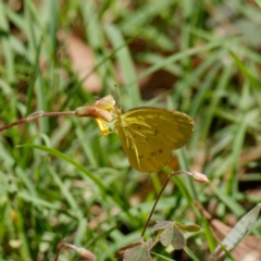 Eurema smilax (Small Grass-yellow) at Cotter River, ACT - 1 Mar 2021 by DPRees125