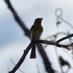 Myiagra rubecula (Leaden Flycatcher) at Red Hill Nature Reserve - 3 Mar 2021 by Ct1000