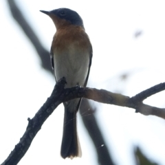 Myiagra rubecula at Red Hill Nature Reserve - 3 Mar 2021