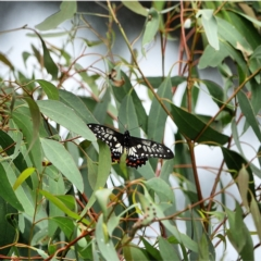 Papilio anactus (Dainty Swallowtail) at Red Hill Nature Reserve - 3 Mar 2021 by Ct1000