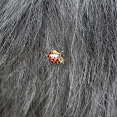 Harmonia conformis (Common Spotted Ladybird) at Red Hill Nature Reserve - 3 Mar 2021 by Ct1000