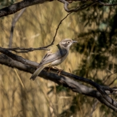 Melithreptus brevirostris (Brown-headed Honeyeater) at Mount Majura - 2 Mar 2021 by trevsci