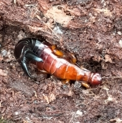 Titanolabis colossea (Giant Earwig) at Berlang, NSW - 26 Feb 2021 by KimPullen