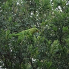 Polytelis swainsonii (Superb Parrot) at Federal Golf Course - 3 Mar 2021 by Ct1000