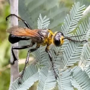 Sphex sp. (genus) at Bendoura, NSW - 26 Feb 2021
