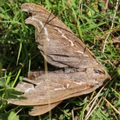 Abantiades (genus) (A Swift or Ghost moth) at Mongarlowe, NSW - 3 Mar 2021 by LisaH