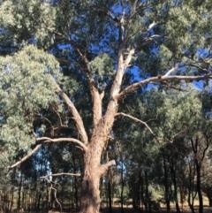 Eucalyptus melliodora (Yellow Box) at - 3 Mar 2021 by Alburyconservationcompany