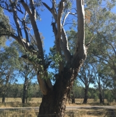 Eucalyptus blakelyi (Blakely's Red Gum) at Baranduda, VIC - 3 Mar 2021 by Alburyconservationcompany