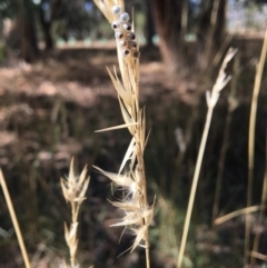 Rytidosperma sp. (Wallaby Grass) at - 4 Mar 2021 by Alburyconservationcompany