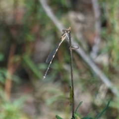 Austrolestes leda (Wandering Ringtail) at Hughes Grassy Woodland - 3 Mar 2021 by JackyF