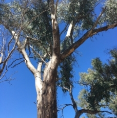 Eucalyptus blakelyi (Blakely's Red Gum) at - 4 Mar 2021 by Alburyconservationcompany