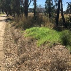 Cenchrus clandestinus (Kikuyu Grass) at Leneva, VIC - 4 Mar 2021 by Alburyconservationcompany