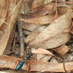 Diamma bicolor (Blue ant, Bluebottle ant) at Booth, ACT - 3 Mar 2021 by KMcCue
