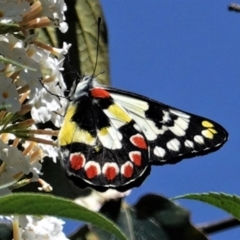 Delias aganippe (Spotted Jezebel) at Hughes, ACT - 3 Mar 2021 by JackyF