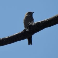 Artamus cyanopterus (Dusky Woodswallow) at Namadgi National Park - 3 Mar 2021 by KMcCue