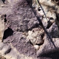Calvatia cyathiformis at Deakin, ACT - 26 Feb 2021