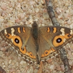 Junonia villida (Meadow Argus) at Namadgi National Park - 3 Mar 2021 by KMcCue