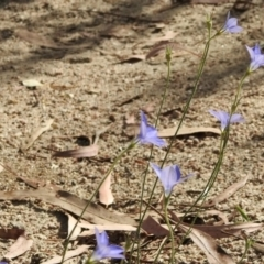 Wahlenbergia sp. (Bluebell) at Booth, ACT - 3 Mar 2021 by KMcCue