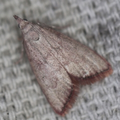 Callionyma sarcodes at O'Connor, ACT - 1 Mar 2021 by ibaird