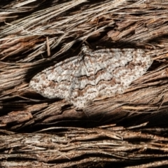 Didymoctenia exsuperata (Thick-lined Bark Moth) at ANBG - 3 Mar 2021 by Roger