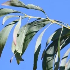 Acacia rubida (Not Sensitive) at Wodonga - 2 Mar 2021 by Kyliegw